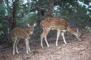 Spotted deer, Ranthambore National Park