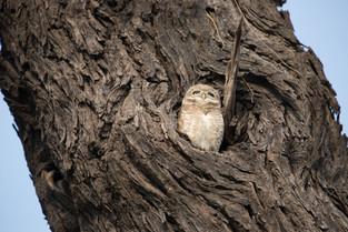 Small Owl, Bharatpur Bird Park