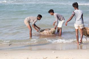 Fishermen washing gutted fish, Sri Lanka