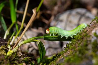 A Caterpillar, ( will it change into a beautiful butterfly_,  Bella Bella, British Columbi