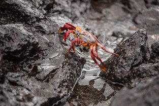 Red crab in the Galapagos