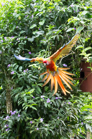 Macaw in flight, Tilajari Ranch,Costa Rica