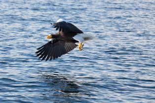 Steller Eagle with fish, Rausu, Hokkaido, Japan