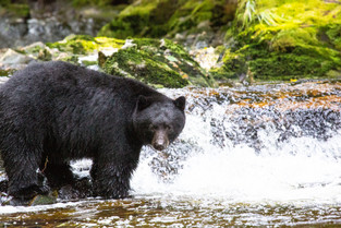 Black Bear seem to be lost, Bella Bella, British Columbia_