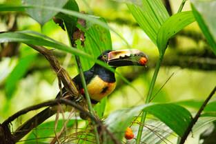 Aracari with fruit, Costa Rica