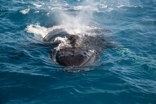 Humpback Whale, Hervy Bay, Queensland