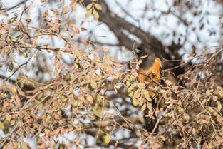 Rufous Treepie, Ranthambore National Park