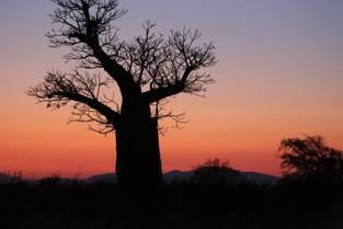 Sunrise with the Boab tree, Berenty, Madagascar