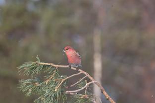 Pine Grosbeak, Norway
