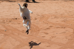 The dancing sifaka ballerina, Berenty, Madagascar