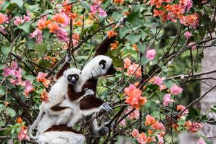Verreaux's Sifaka eating bonganville, Anjajavy, Madagascara