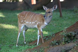 Spotted Deer, Mfuwe Lodge, Zambia.JPG