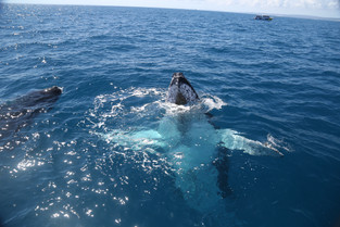 Humpback Whale saying hello, Hervey Bay Queensland