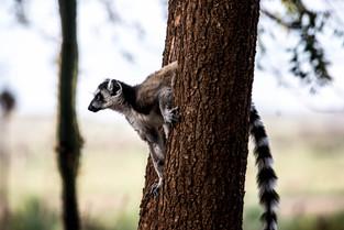 Ringtail Lemur, Berenty, Madagascar