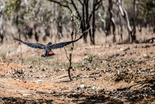 Red tail Black Cockatoo, Northern Territory. It is said the number of birds you see is the