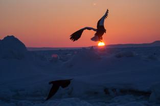 A Stellar Eagle at sunrise over the sea floe, Rausu, Hokkaido_