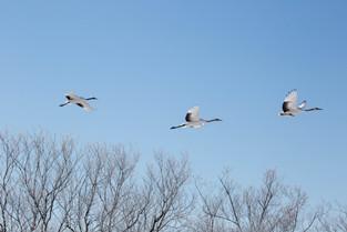 Flight of the Red Crowned Cranes, Hokkaido
