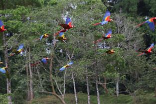 Macaws in flight, Tilajari Ranch, Costa rRca
