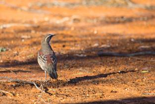 Copperback Quail Thrush, South Australia