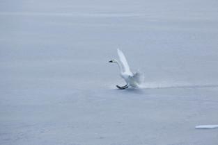 Bewick swan landing on thr frozen lake, Honshu_