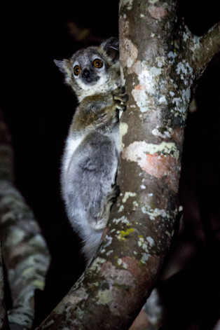 Safahary Sportive Lemur, only seen at night, is an endangered species, Berenty, Madagascar