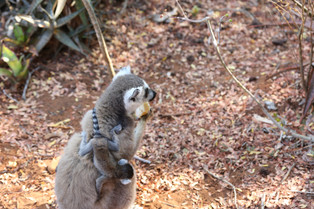 The mother and child ringtail lemurs who stole my breakfast, Berenty, Madagascar
