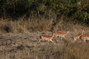 Warthog and Impala, Luangwa National Park, Zambia.JPG