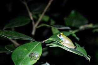 Green Tree Frog, Andasibe, Madagascar