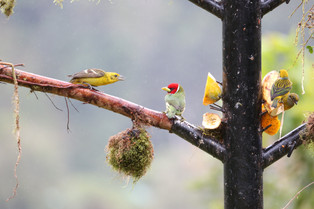 A challenge between the Barbet and the yellow Tanager, Costa Rica