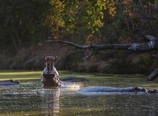 Yawning Hippo, outside Mfuwe Lodge, Luangwa National Park