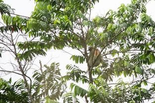 3 toed sloth, Costa Rica