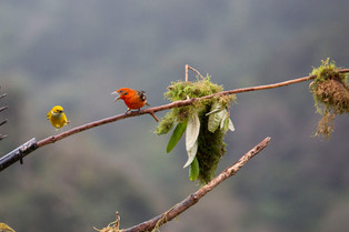 The Flame Tanager said to the yellow throat tanager - GO AWAY, Costa Rica