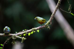 Olive Back Euphonia, Costa Rica.jpg