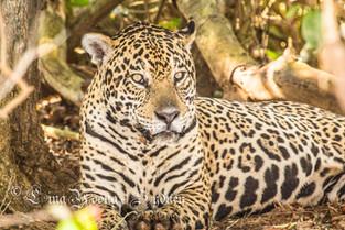 jaquar, Pantanal, Brazil