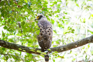 Crested Serpent eagle, Sri Lanka