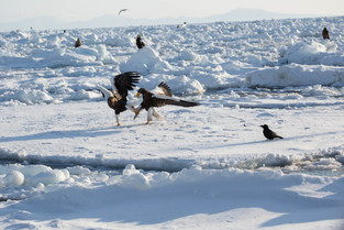 _ Stellar Eagle fighting over a fish on the sea floe, Rausu, Hokkaido