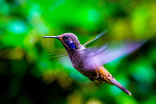 Humming bird, Cloud Forest, Quito, Ecuador