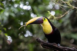 Chestnut Mandibled Toucan, Costa Rica