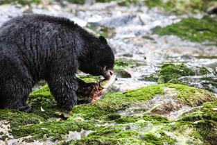 Black Bear eating Brain of Salmon, Bella Bella, British Columbia_