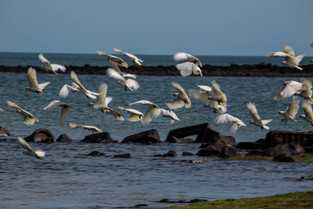 Corellas, Elcho Island, Northern Territory