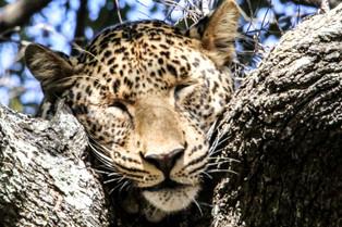 A Leopard asleep, Luangwa National Park