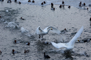 A lift off of a pair of Bewick swans, Honshu_