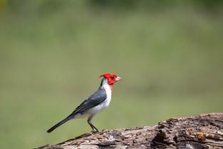 crested cardinal, Pantanal, Brazil