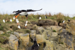 Puffin coming in to land, Iceland