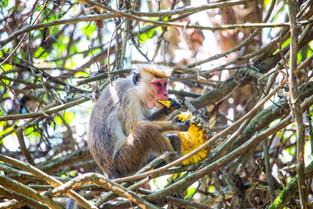 Toque Monkey with fruit from palm tree, Sri Lanka