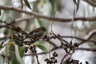 Forty Spotted Pardalote, Bruny Island, Tasmania