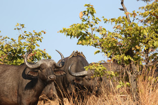 Oxpeckers on buffalos, Luangwa National Park, Zambia.JPG