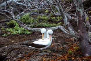 Courting Nazca Boobies, Galapagos
