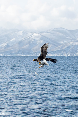A Steller Eagle lost his fish, Rausu, Hokkaido_