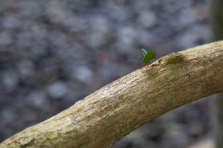 Leaf Cutter ants, Costa Rica_
